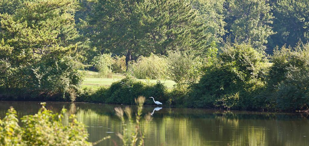 Egret hanging out in NJ, Teaneck, NJ