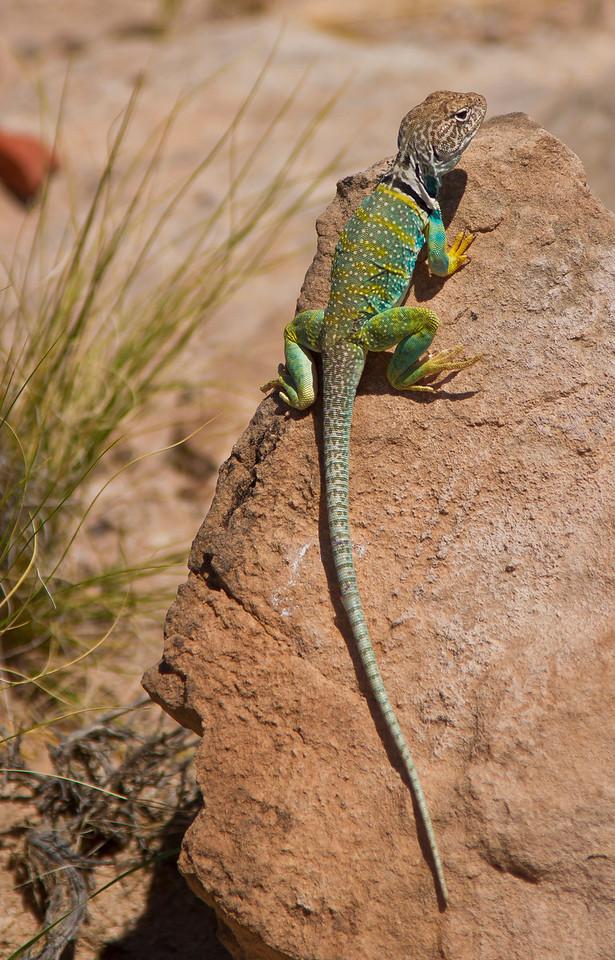 Actually quite big for a little desert lizard.  Petrified Forest National Park, AZ