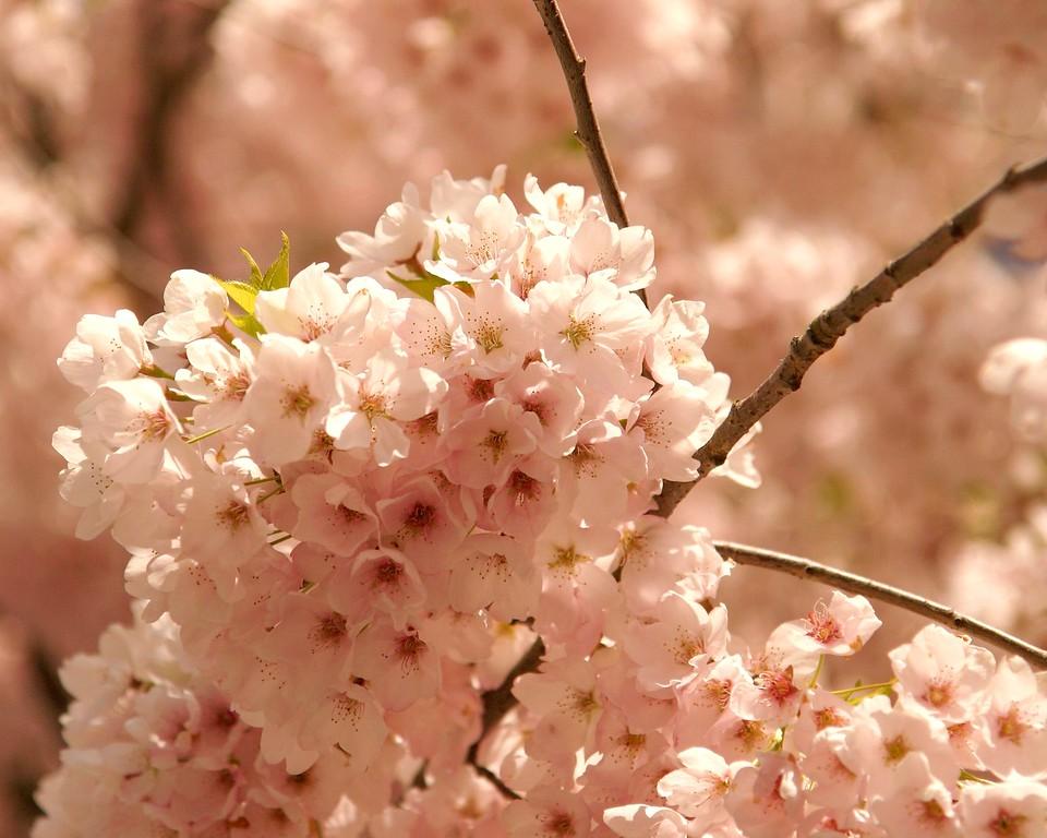 Cherry Blossoms, Seattle, WA