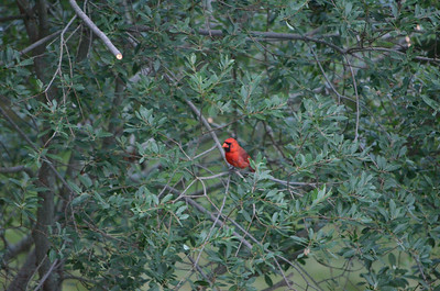 Red Cardinal in our backyard.
