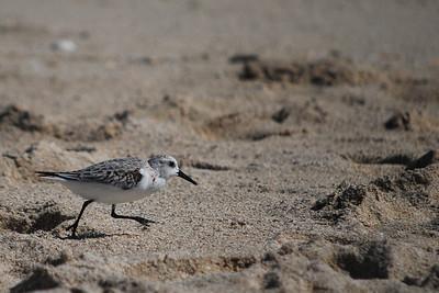 Bird on Miami beach would prefer to walk than fly.