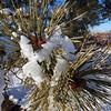 Male Cones on Ponderosa Pine