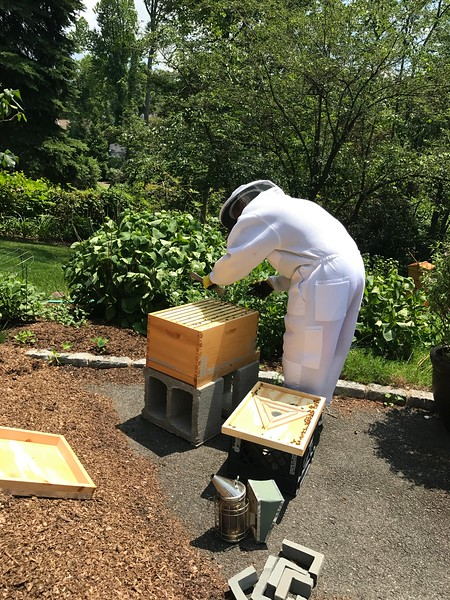 Checking Hive #3. Workers have been laying and all they make are drones. Medium frame with eggs G3 from Hive #2 Box G had been inserted. Plan today is last chance insertion of one more medium frame with eggs and brood. G2 from Hive #2 Box G.