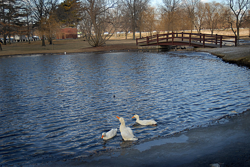 Free at last. Central Veterinary Associates, Three ducks rehabed. January 29th, 2007. Photo by Kathy Leistner