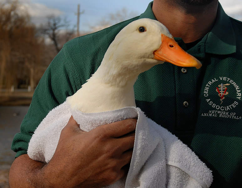 Aaron Thomas, doctor's assistant.  Three ducks rehabed. January 29th, 2007. Release at Mill Pond Park. Photo by Kathy Leistner