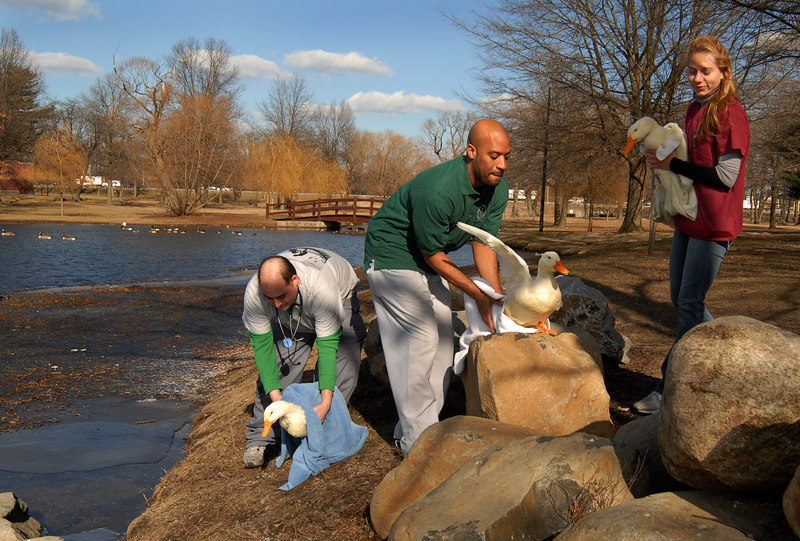 L-R Dr. Aaron Vine, Aaron Thomas, and Ilse Oechler of CVA. Three ducks rehabed. January 29th, 2007. Release at Mill Pond Park. Photo by Kathy Leistner