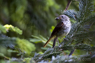 Hermit Thrush holding its lunch.  Photo taken in the North Cascades, Washington.