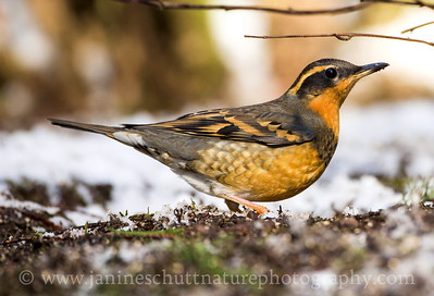Female Varied Thrush on a snowy winter day.  Photo taken near Bremerton, Washington.