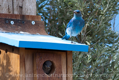 Male Mountain Bluebird with a snack for its waiting offspring.  Photo taken along Wenas Road near Ellensburg, Washington.
