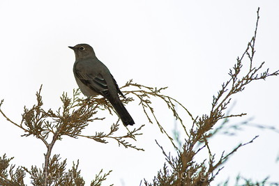 Townsend's Solitaire near Pateros, Washington.