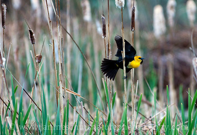 Male Yellow-headed Blackbird.  Photo taken by Jameson Lake in Douglas County, Washington.