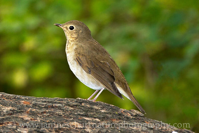 Swainson's Thrush at Ridgefield National Wildlife Refuge near Ridgefield, Washington.