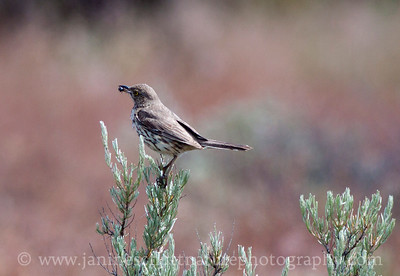 Sage Thrasher.  Photo taken along Wenas Road near Ellensburg, Washington.