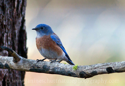 Male Western Bluebird at Turnbull National Wildlife Refuge near Cheney, Washington.
