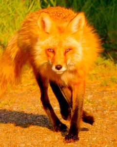 Red Fox, 2020