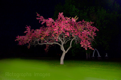 Pink, Flowering Crab Apple Tree