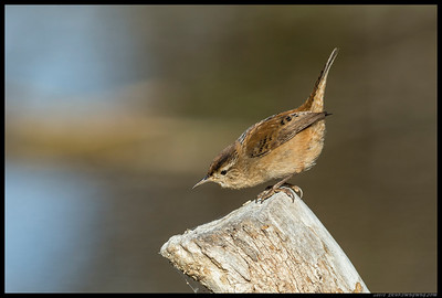 The tiny Marsh Wren decided to give me a pose or two before hopping back into the bushes.