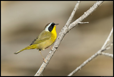 Common Yellowthroat posing for the camera.