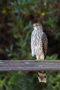 Juvenile Cooper's Hawk perched on a fence.  Unfortunately a pair of rider's spooked it before I could get closer.