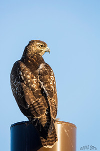 Juvenile Red Tailed Hawk perched on one of the awning posts at Border Field State Park.