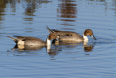 A pair of Northern Pintails out for an evening 'dabble'.