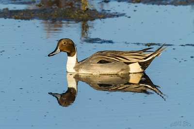 Northern Pintail in search of the perfect 'dabbling' spot.