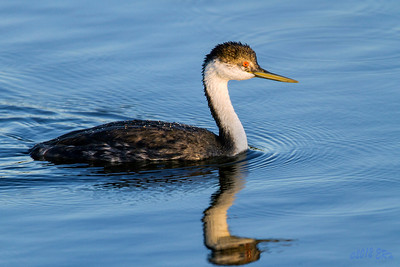 Western Grebe making a close pass as the sun sets.
