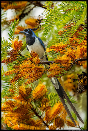 Mexican Magpie Jay.