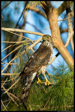 A Cooper's Hawk surveying the area for prey.