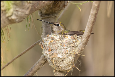An Anna's Hummingbird sitting on the eggs in her nest.