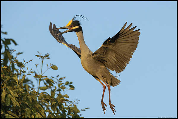 A Yellow Crowned Night Heron flying back up to the nest.