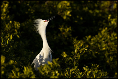 A decked out Snowy Egret awaiting the return of its mate.