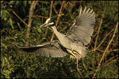 A Yellow Crowned Night Heron bringing a stick back to its mate at the nesting site.