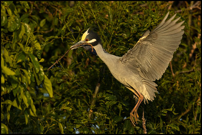 A Yellow Crowned Night Heron bringing back what seemed like an endless amount of sticks.