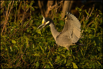 A Yellow Crowned Night Heron announcing its return to the nest.