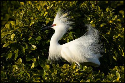 A Snowy Egret all fluffed up in it's breeding attire.