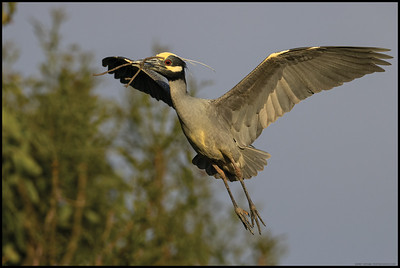 A Yellow Crowned Night Heron bringing another stick back for the nest.