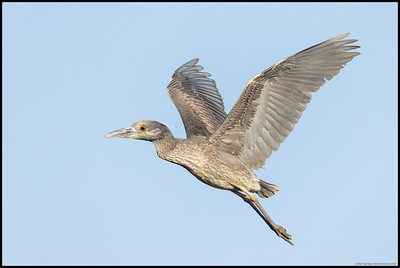 A juvenile Yellow Crowned Night Heron in flight back to the nesting area.