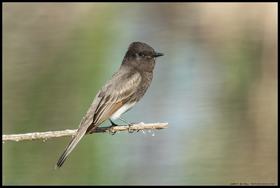One of the resident Black Phoebe's paused from hunting for a moment.  I jokingly called these(and their Eastern counterparts) typewriter birds to draw a comparison to how their heads track prey insects and then suddenly reset back to where they started.