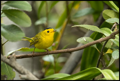 One of the Wilson's Warblers that was passing through on the way north.