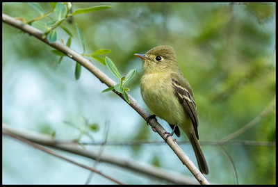 One of the Pacific Sloped Flycatchers waiting patiently for its next meal to fly by.