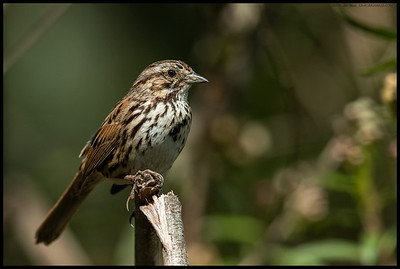 A Song Sparrow perched in a small patch of light.