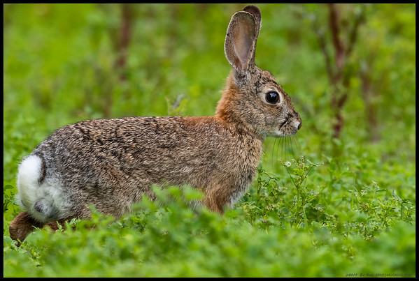 I've always thought it interesting how when you are low and still, sometimes even the cottontail rabbits will just hop out in front of the lens.