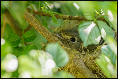 A Pacific Sloped Flycatcher sitting on the nest.