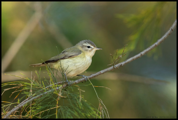 A Warbling Vireo taking a brief break between breakfast captures.  This one was flying with a Hermit Warbler and at times its seemed like they were competing for the same perches before the warbler would veer off to another perch.