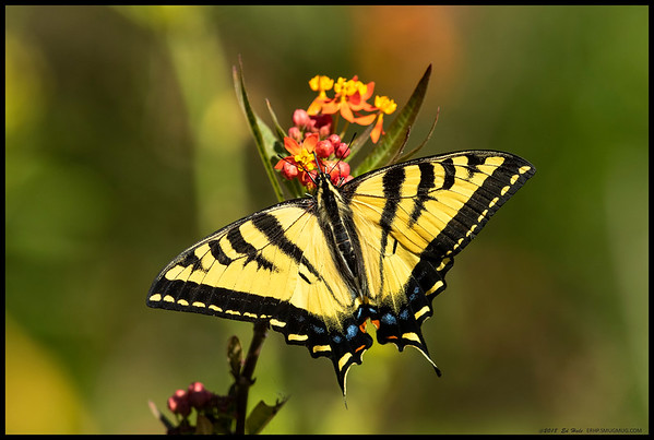 Western Tiger Swallowtail butterfly gorging on some milkweed.