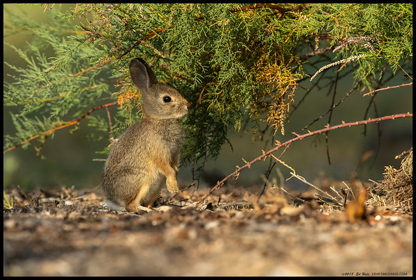 A little cottontail in the early morning light.