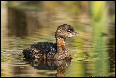 Pied-Billed Grebe taking a moment to investigate the reflection making clicking noises.