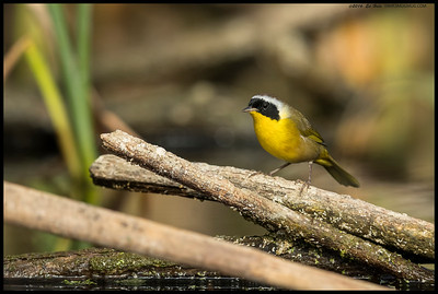 One of the scampering, flitting Common Yellowthroats took a moment to pose.
