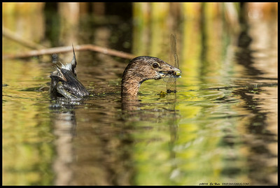 Pied-Billed Grebe was having a go at playing Dragonfly Hunter, and proving to be very success.